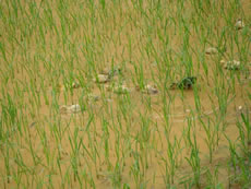 A farmer practices ecological farming through raising ducks in the paddy fields.