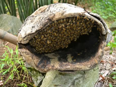 With PCD's support to a survey, it is found that traditional methods in keeping Chinese honeybees is the lifeline for the ecological restoration of the soil-denuded areas of Guizhou. One traditional method for beekeeping there is to use beehives made from tree trunks to catch wild bees.