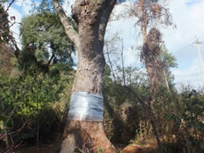 During the campaign of old tree conservation in Kunming, an  Albizia mollis tree showed life again after treatment.