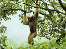 Take a closer look at the hoolock gibbon who lives in Yunnan's Gaoligongshan Nature Reserve where PCD supports activities to conserve its biodiversity. (From Seven Years in Nankang, By Li Jiahong)