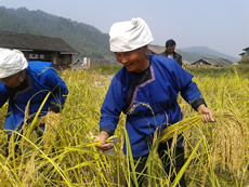 Harvesting a traditional crop of sticky rice.