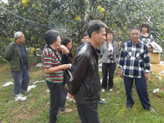 Farmers visited organic pomelo growing farm in a village in Guangxi.