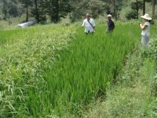 Rice species improvement experiment in Nandan County, Guangxi Province.