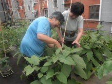 Community members in Beijing tending vegetables in their own pots as well as those grown in public space of the roof-top garden.
