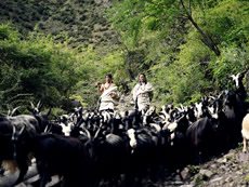 Traditional wisdom of practicing farming and herding simultaneously