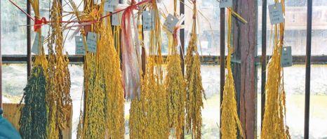 黄岗侗寨的本土糯稻品种保护